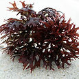 sea moss irish moss chondrus crispus 1.j