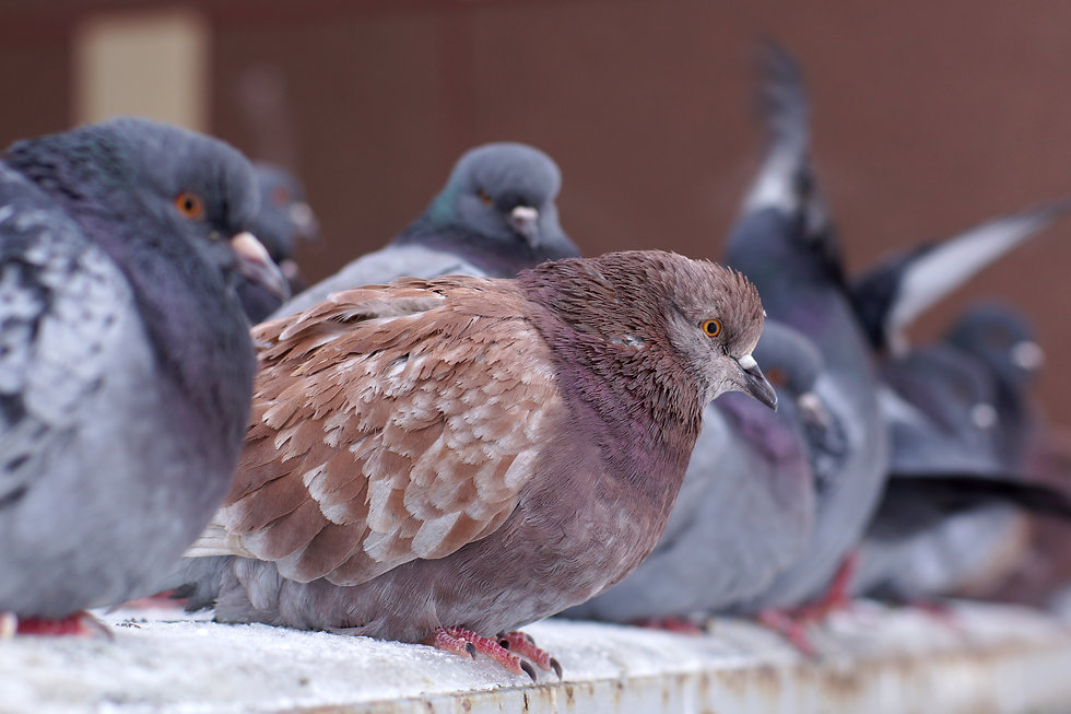 ruffed-pigeons-in-the-winter-on-the-stre