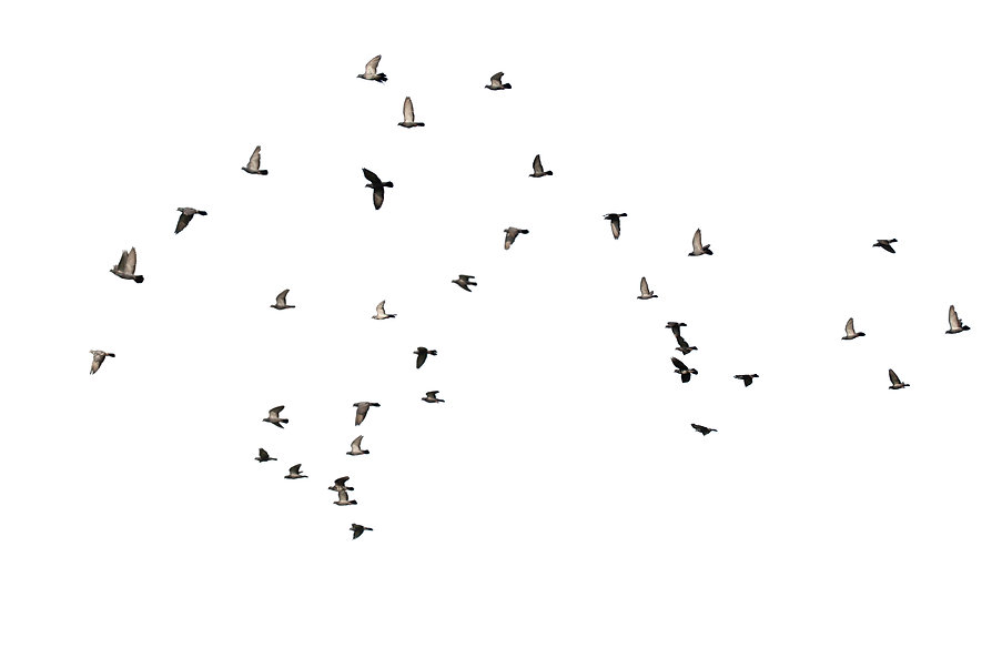 flocks-of-flying-pigeons-isolated-on-whi
