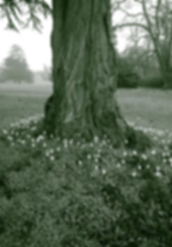 Tree surrounded by snowdrops for  Counselling Essex
