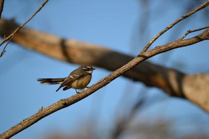 Native Woodland Bird