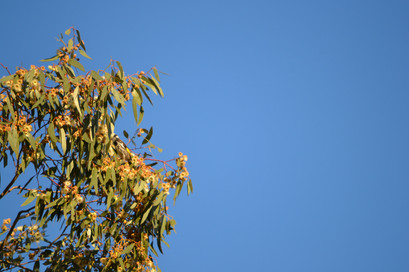Native Wattle Tree