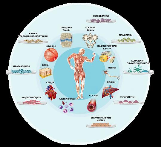 Протеинсинтез А4 4+4_face  только клетки
