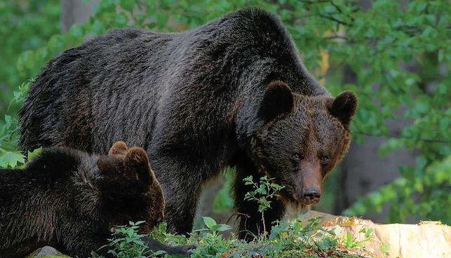 Echilibru - Dans la peau de l'ours