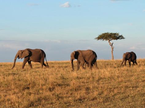Wild life in the African Savannah   Masai Mara, Kenya