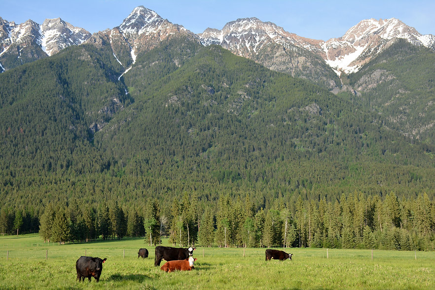 Jody Cows with Mountains.jpg