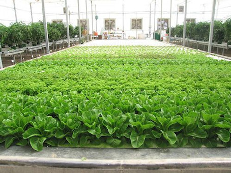 High P or low P? The mystery of phosphorus in hydroponic culture
