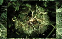Fleur du vent Corse