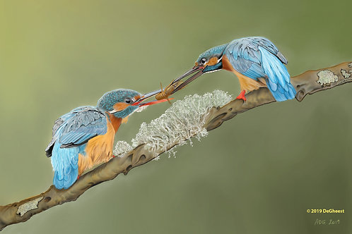 """Kingfishers sharing a meal"" by Anne DeGheest"