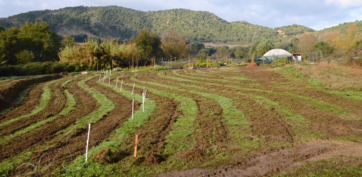 Lits pour culture de légumes semé en engrais vert...