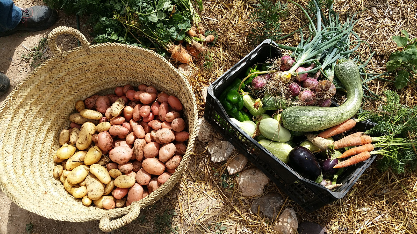 Récolte de pomme de terre....