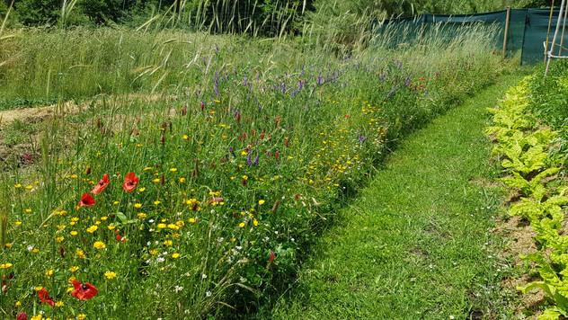 Couloirs d'engrais vert pour accueillir la faune et les auxilliaires du jardin...