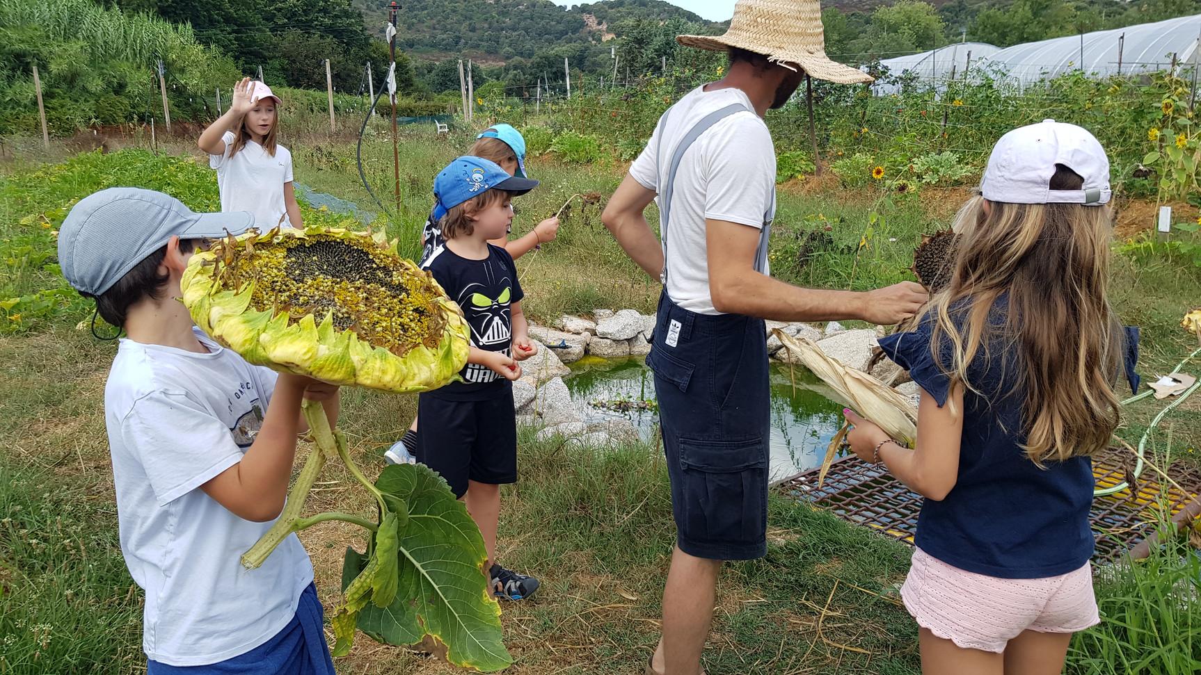 Récolte au jardin des semences avec les élèves....