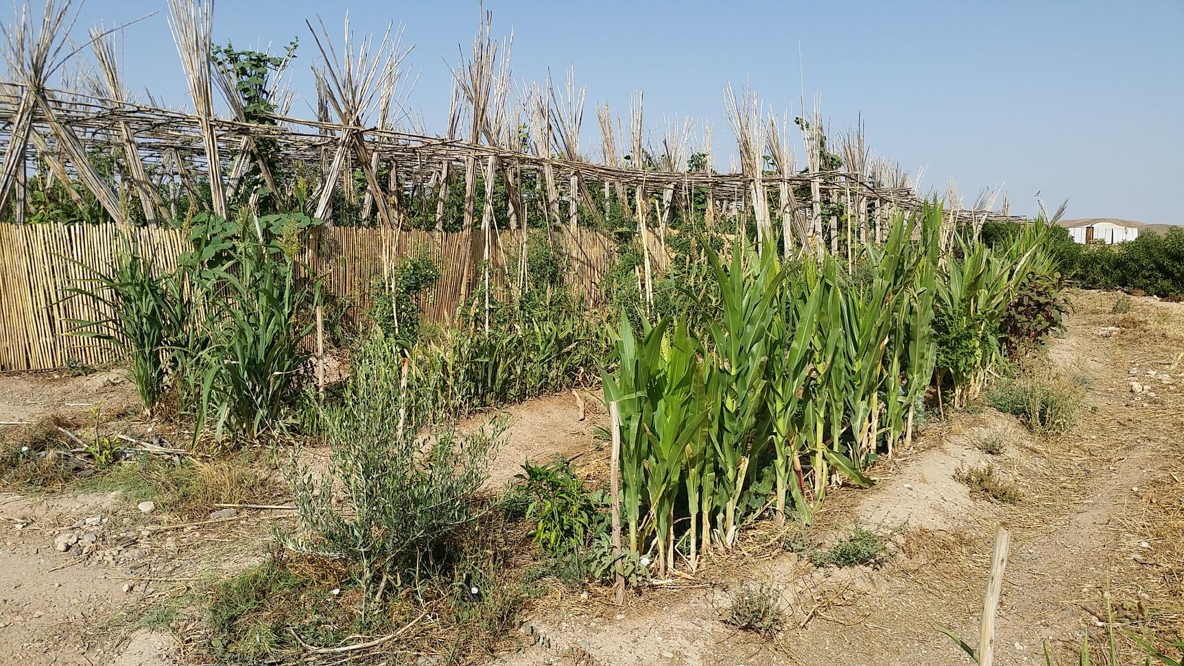 Essai de rideaux végétaux, sorgho et maïs...