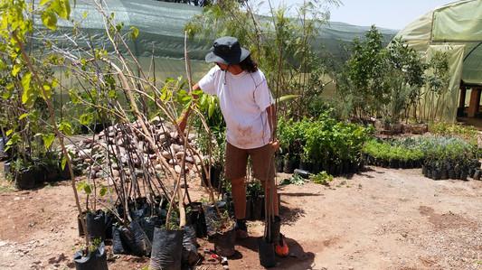 Préparation des arbres de clôture...