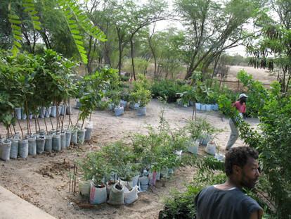 Préparation arbres Kaolac au 25.11.06 (5