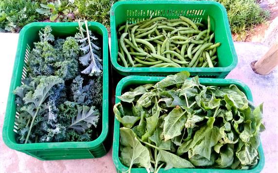 Choux Kale et épinard