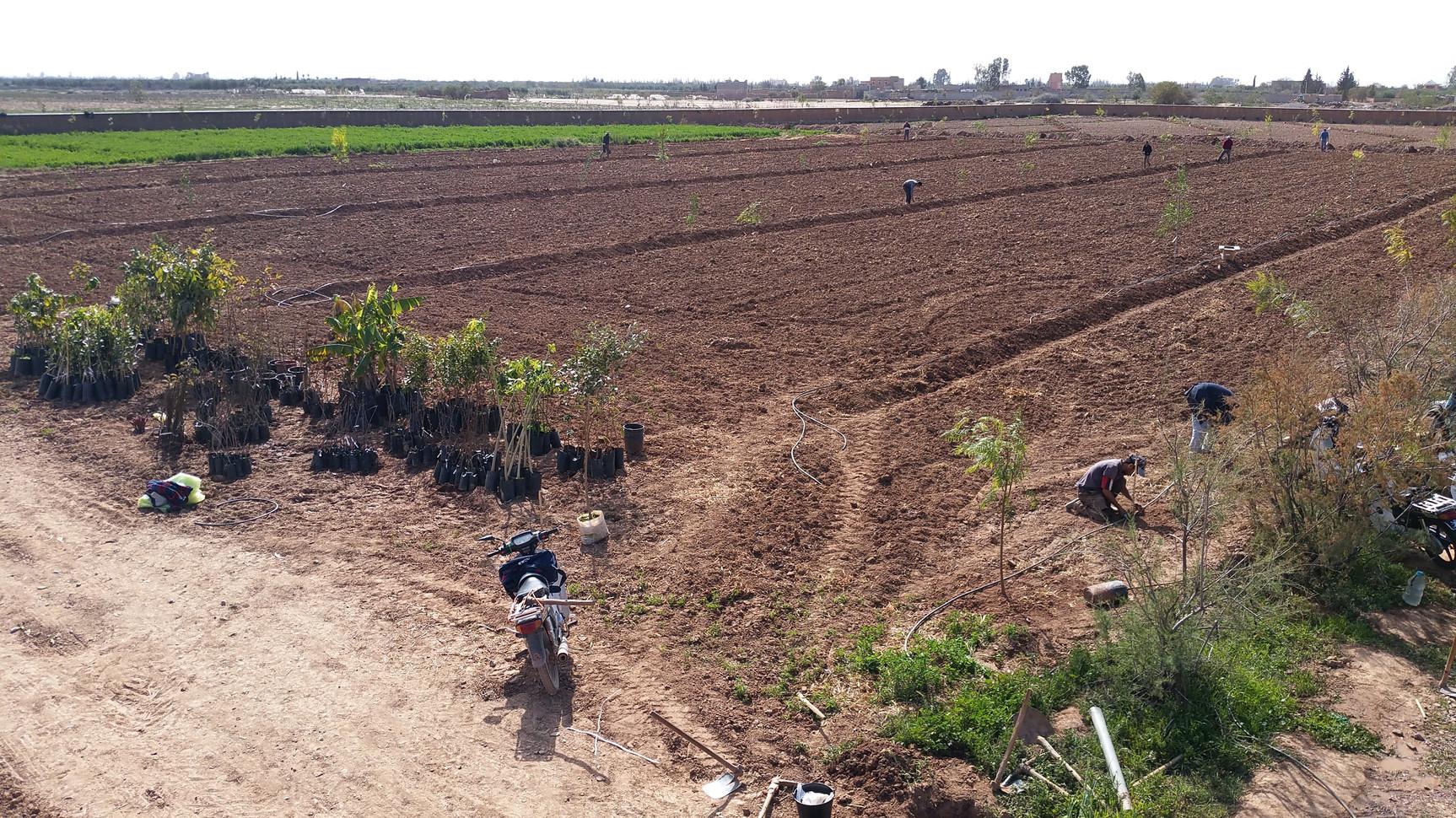 Plantation d'arbres fruitiers et compagnons au pied des swales