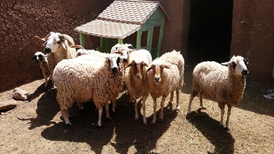 Nos amis les moutons...