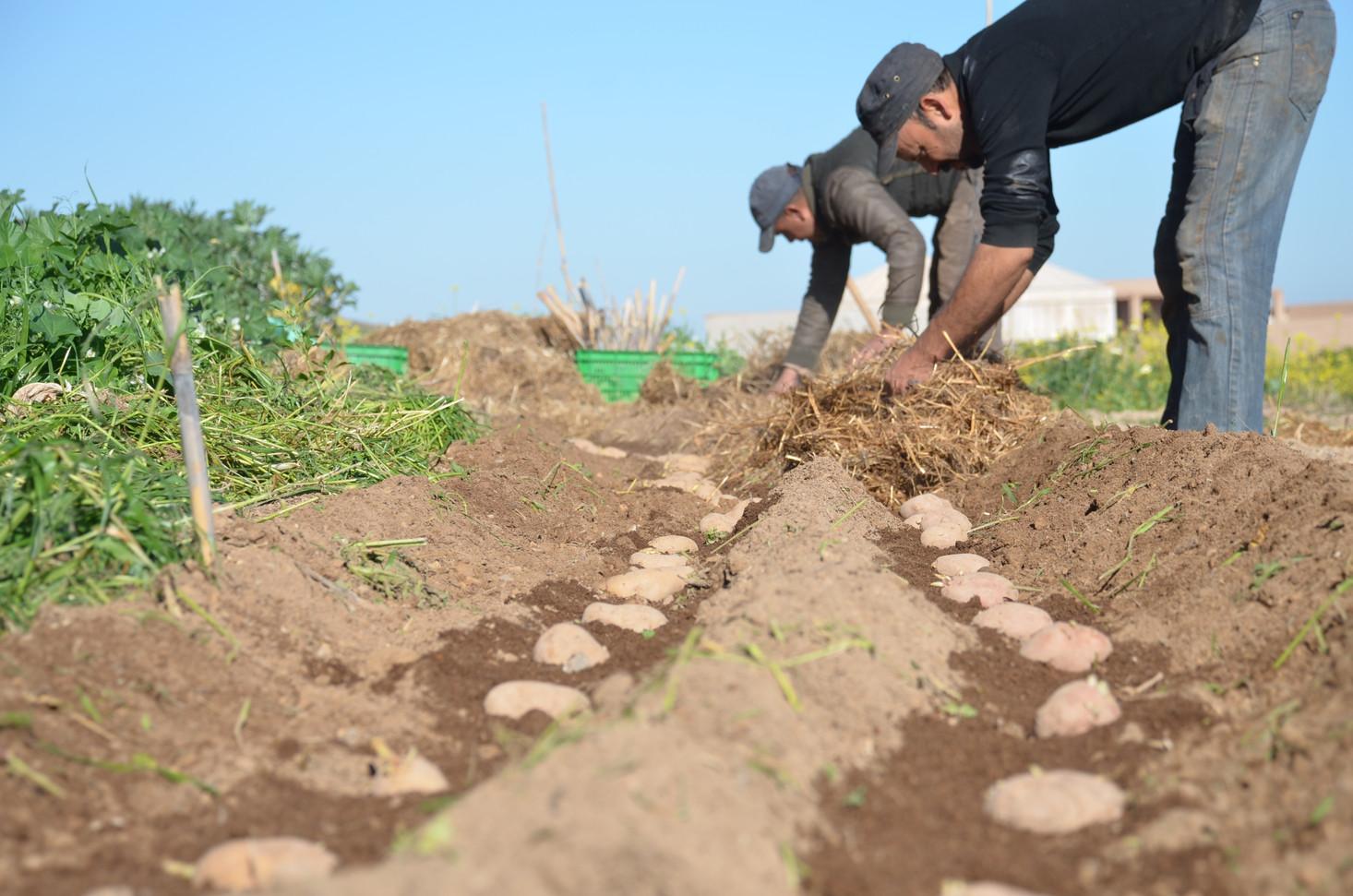 Culture de pomme de terre...