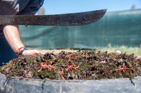 Préparation des algues pour le compost inoculum