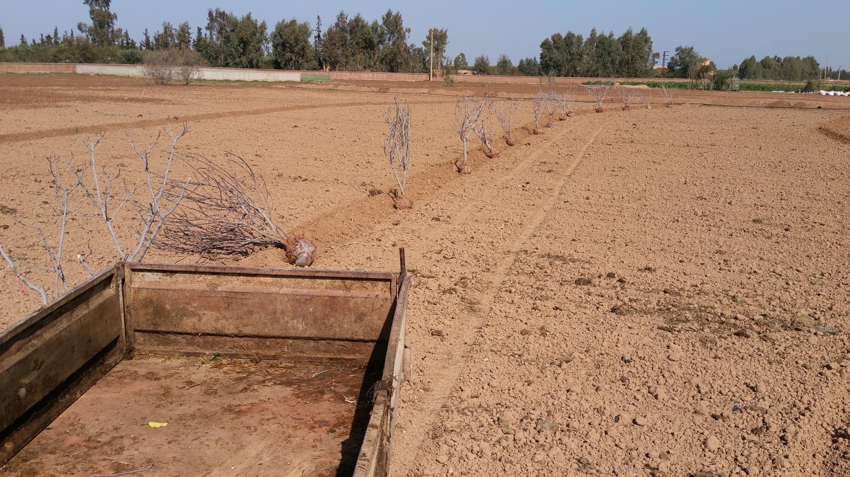 Plantation des figuiers....