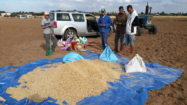 Préparation des graines, mélange et inoculation avec des mychorise symbiotique...