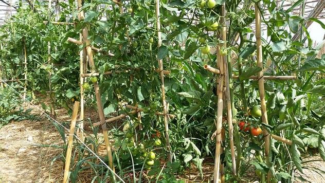 Pieds de tomates de 2m de haut...
