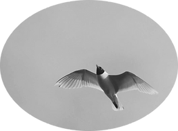 mouette rieuse.png