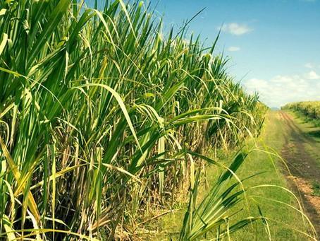 Eficiência do Bacillus subtilis no manejo de nematoides na cultura da cana-de-açúcar