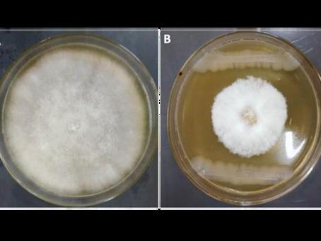 A versatilidade de Bacillus subtilis