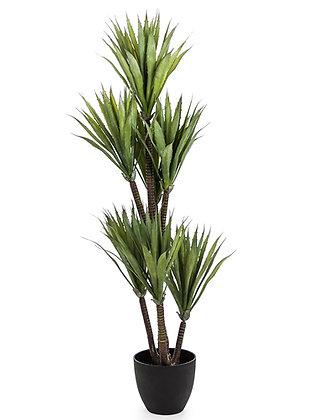Ornamental Yucca plant
