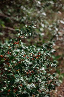 A lush green bush with little berries on it.