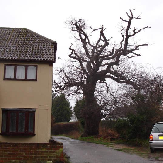Large Tree maintenance
