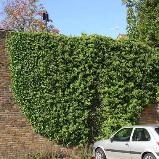 Ivy removal Hertford