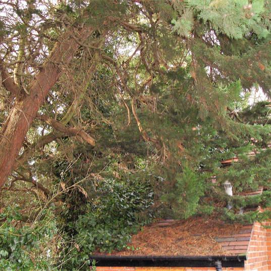 Tree surgery invasive trees.