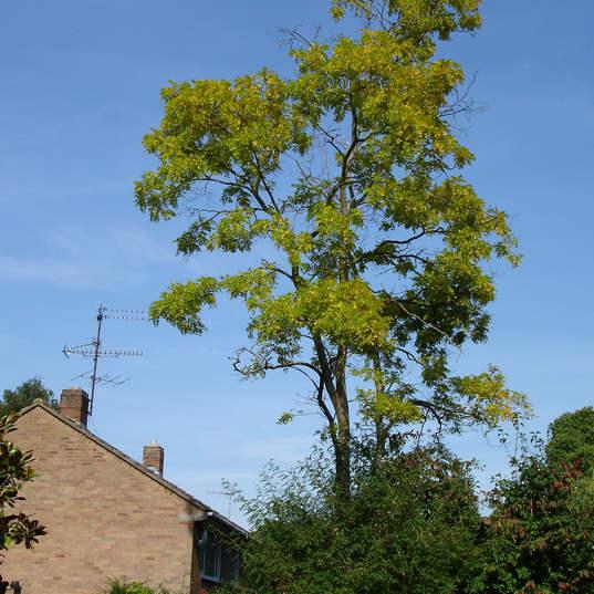 Tree surgery large tree reduction