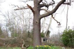 Giant dead Oak tree