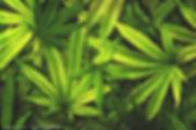 cannabis leaves.jpg
