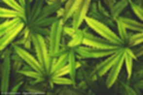 cannabis leaves.jpg