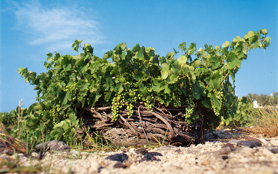 Santorini, an Historical Vineyard, courtesy Foinikas Publications