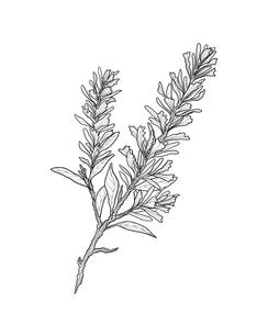 artemisia tridentata.png