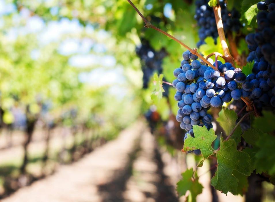purple-grapes-vineyard-napa-valley-napa-