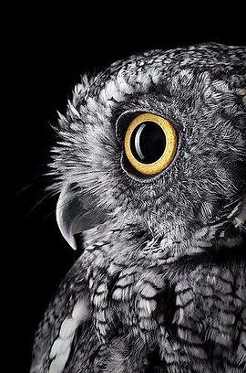 owl_BradWilson.jpg