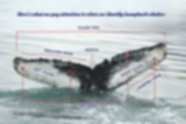 humpback-identification-5.jpg