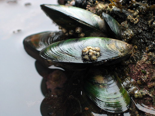 Green-lipped Mussel and its benefits