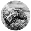 poultry feeds.png
