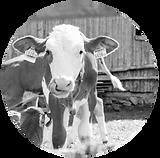 calf feed.png