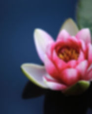 lotus flower coaching marta regina.jpg