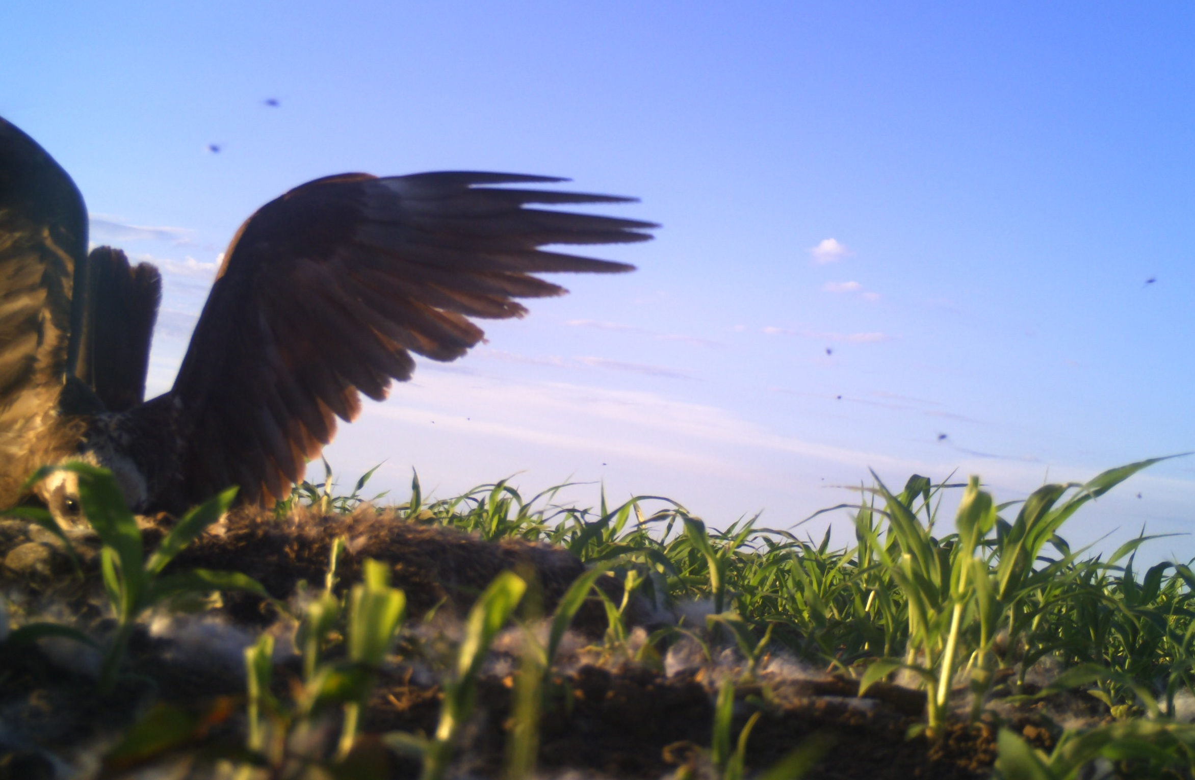Marsh Harrier (Aeroginus funereus)